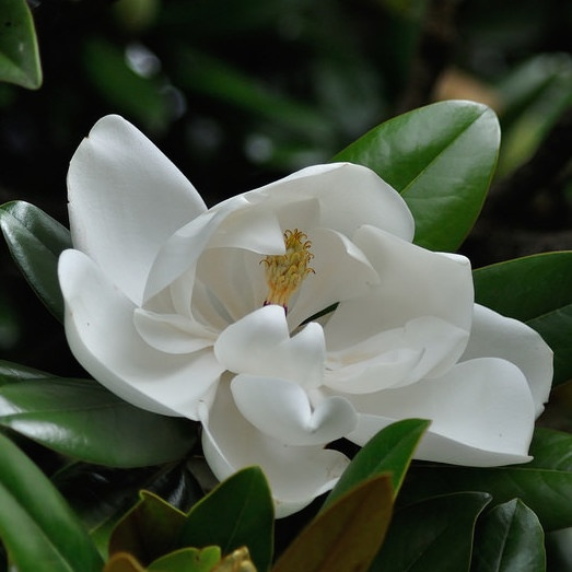 magnolia is one of the best plants for slopes