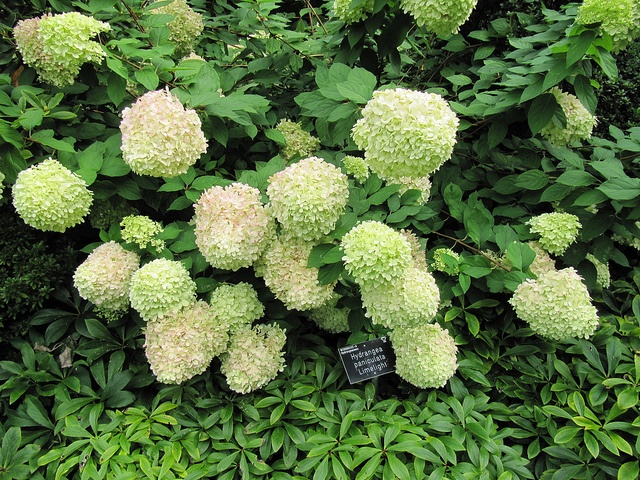'Limelight' hydangea is one of the best shrubs in Atlanta for commercial properties