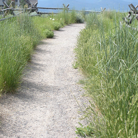 perennial bunchgrass is a great plant for slopes