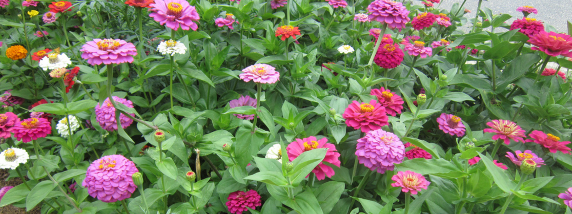Some of our favorite seasonal-color plants for this spring and summer include zinnias, duranta, dragon wing begonias, blue salvia and lantana.