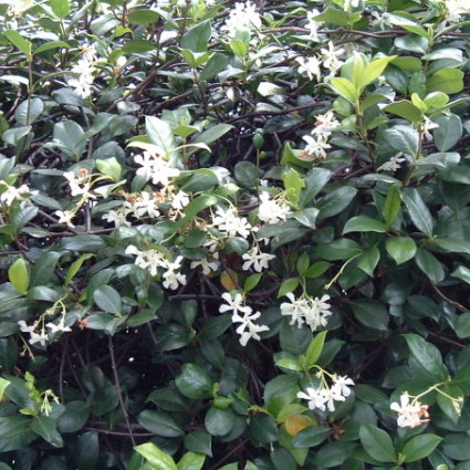 Asiatic jasmine is a groundcover perfect for slope landscaping
