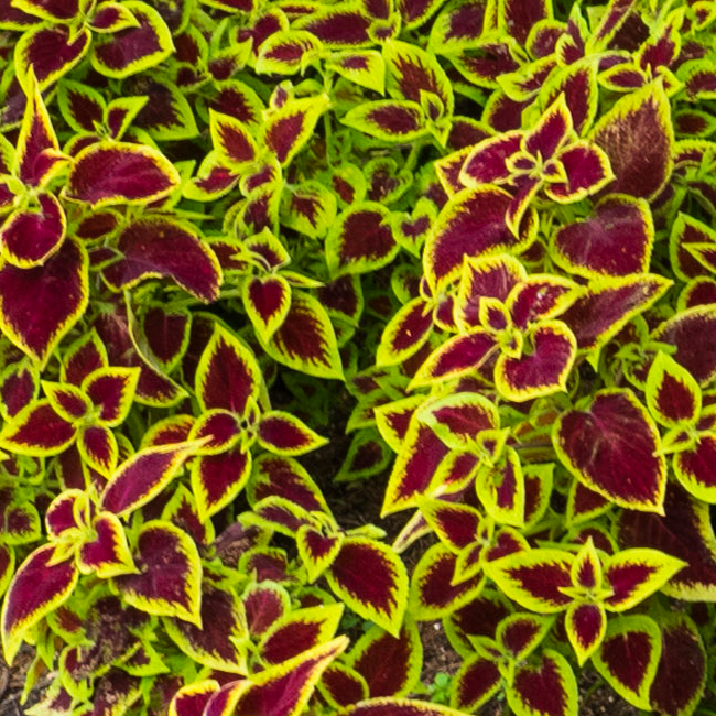Coleus is a colorful, shade-loving plant.