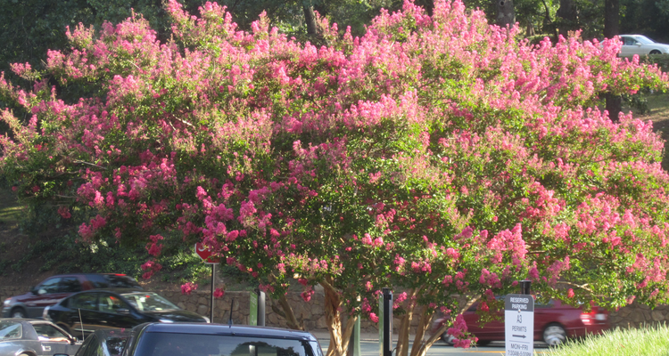 Crape Myrtle Is One Of The Best Flowering Trees For Parking Lot Islands