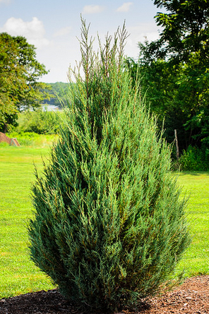 Eastern Red Cedar Is One Of The Best Evergreen Trees For An Outdoor Privacy Screen