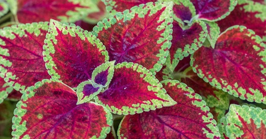 Coleus Are A Colorful Shade Plant For Atlanta Commercial Real Estate