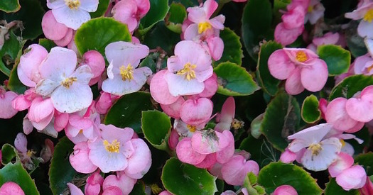 Green Leaf Begonias Are A Colorful Shade Plant For Atlanta Commercial Real Estate