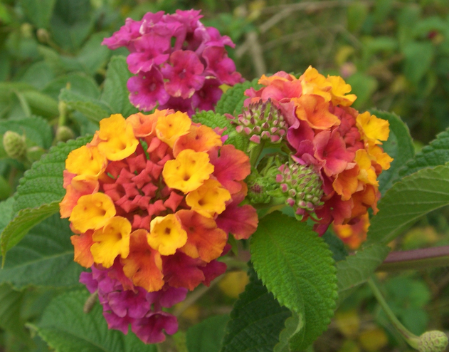 Lantana Is A Colorful And Excellent Drought Tolerant Flower For Commercial Landscapes
