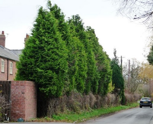 Leyland Cypress Is One Of The Best Evergreen Trees For An Outdoor Privacy Screen