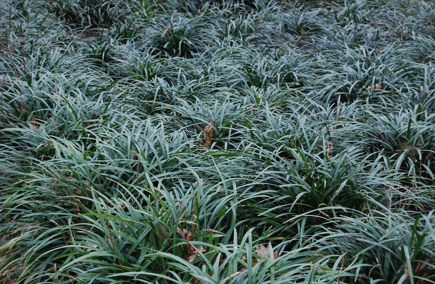 Big blue liriope is low-maintenance groundcover good for replacing turf