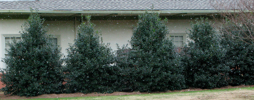 Nellie R. Stevens Holly Is One Of The Best Evergreen Trees For An Outdoor Privacy Screen