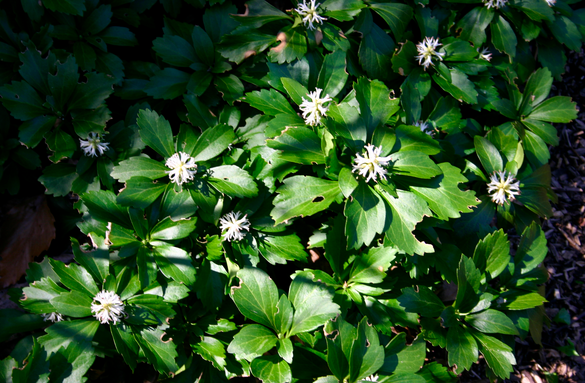 Pachysandra is a low-maintenance evergreen groundcover great for replacing grass