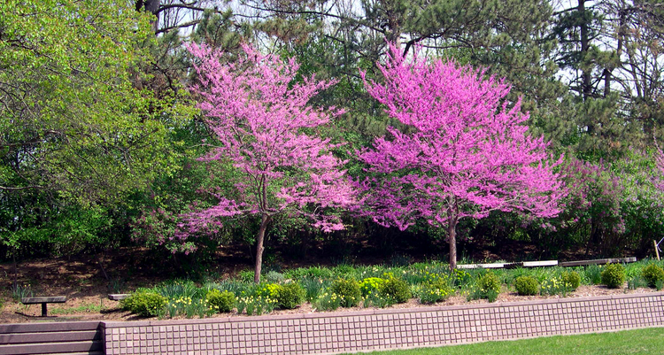 Redbus Is One Of The Best Flowering Trees For Parking Lot Islands