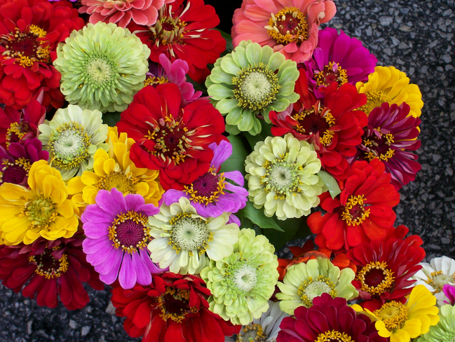 Zinnias Are Colorful And Excellent Drought Tolerant Flowers For Commercial Landscapes