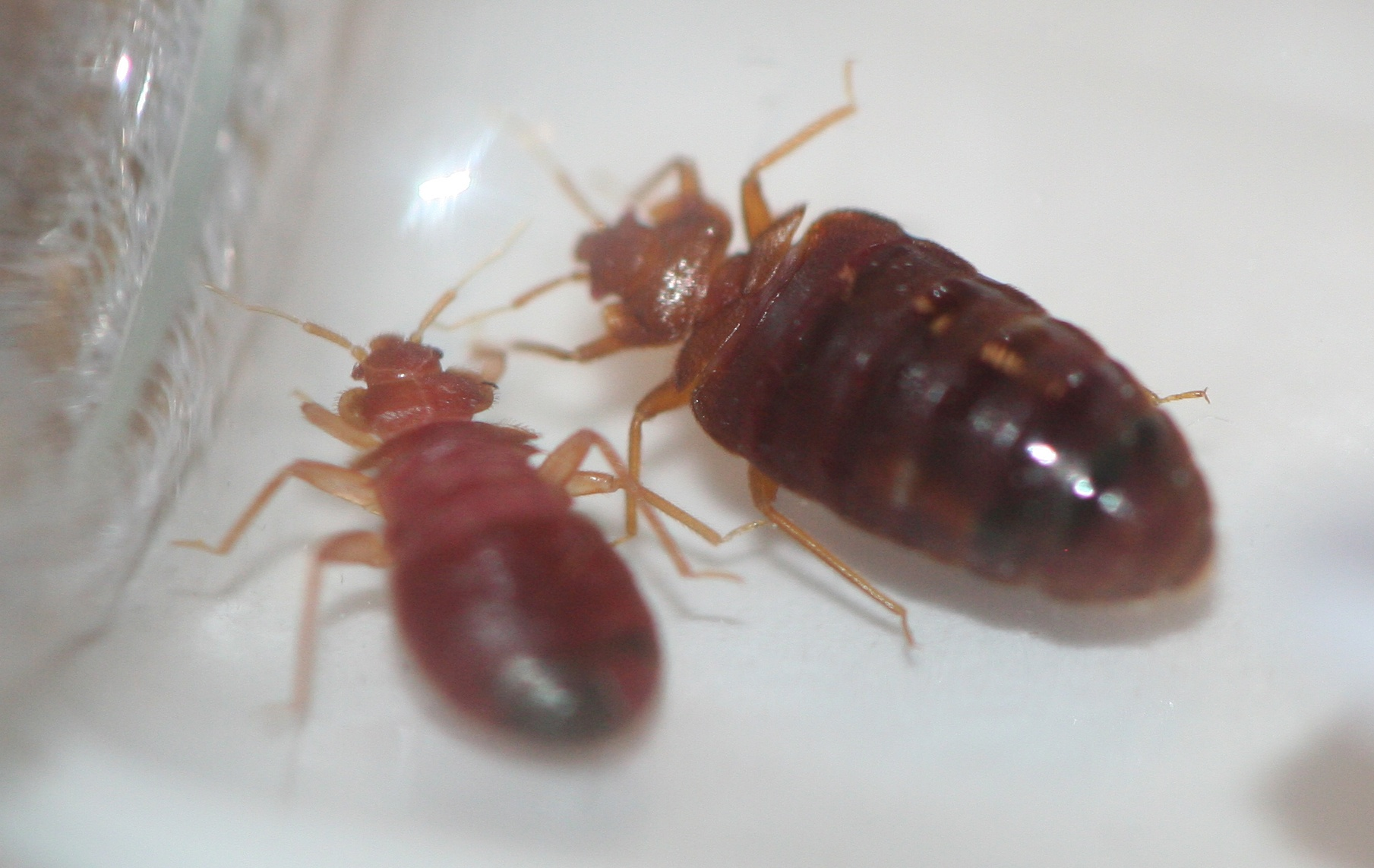 Do bed bugs have a color preference