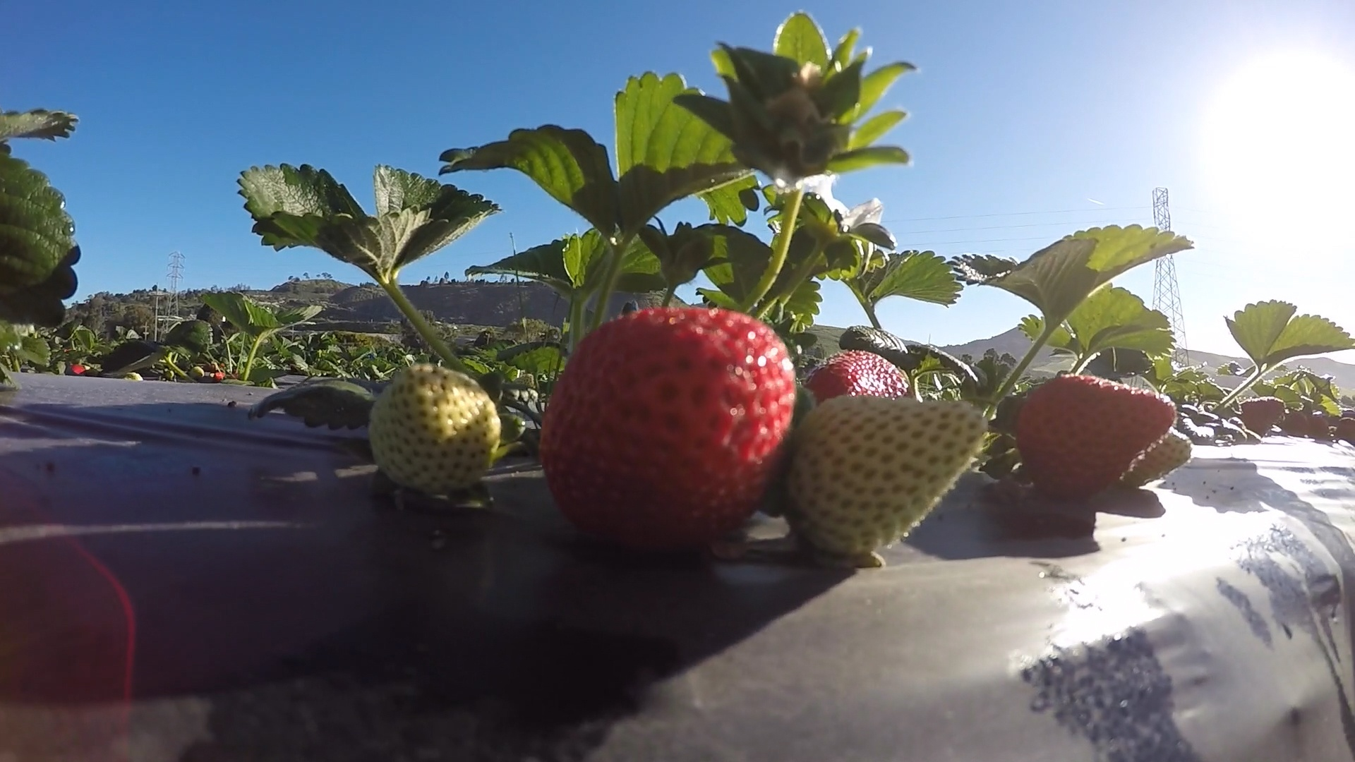 Field strawberries: useful properties and contraindications, photo 28