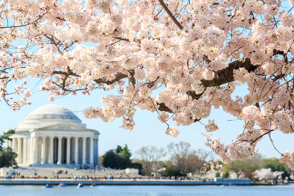 Thumbnail for Cherry Blossom Festival: What to Know Before You Go