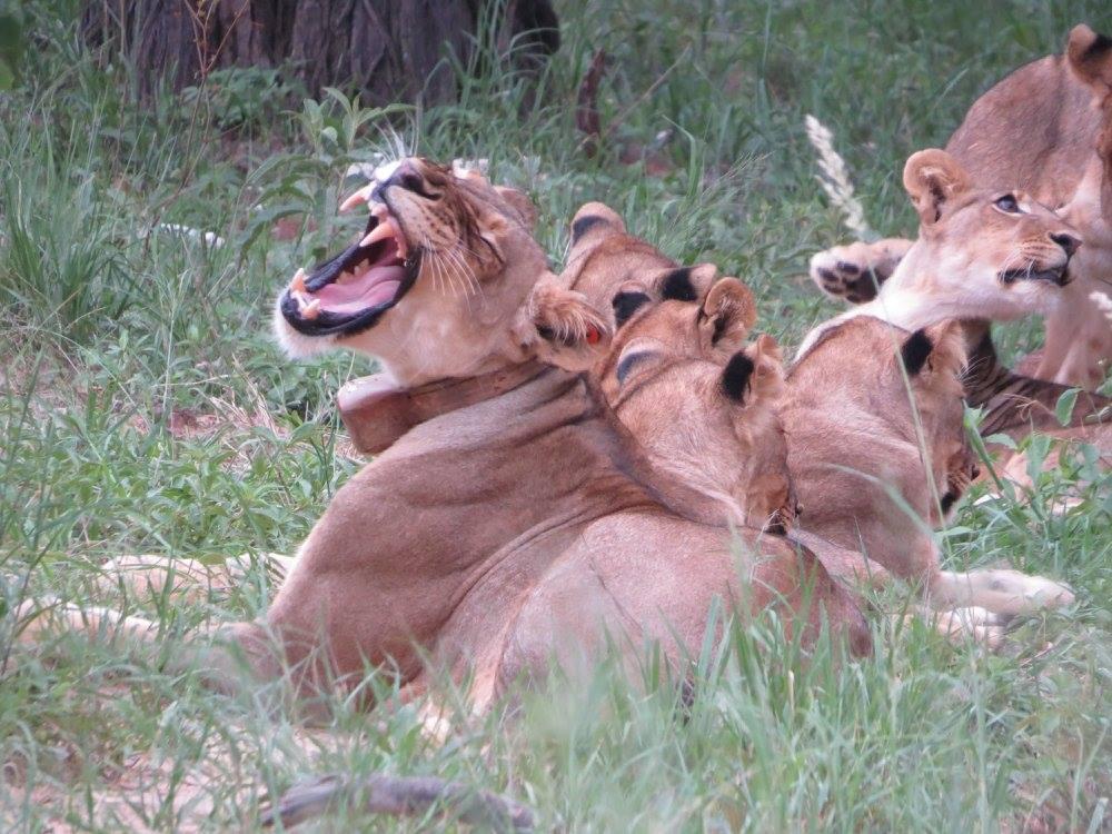 Yawning mom lion - spice girls somalisa