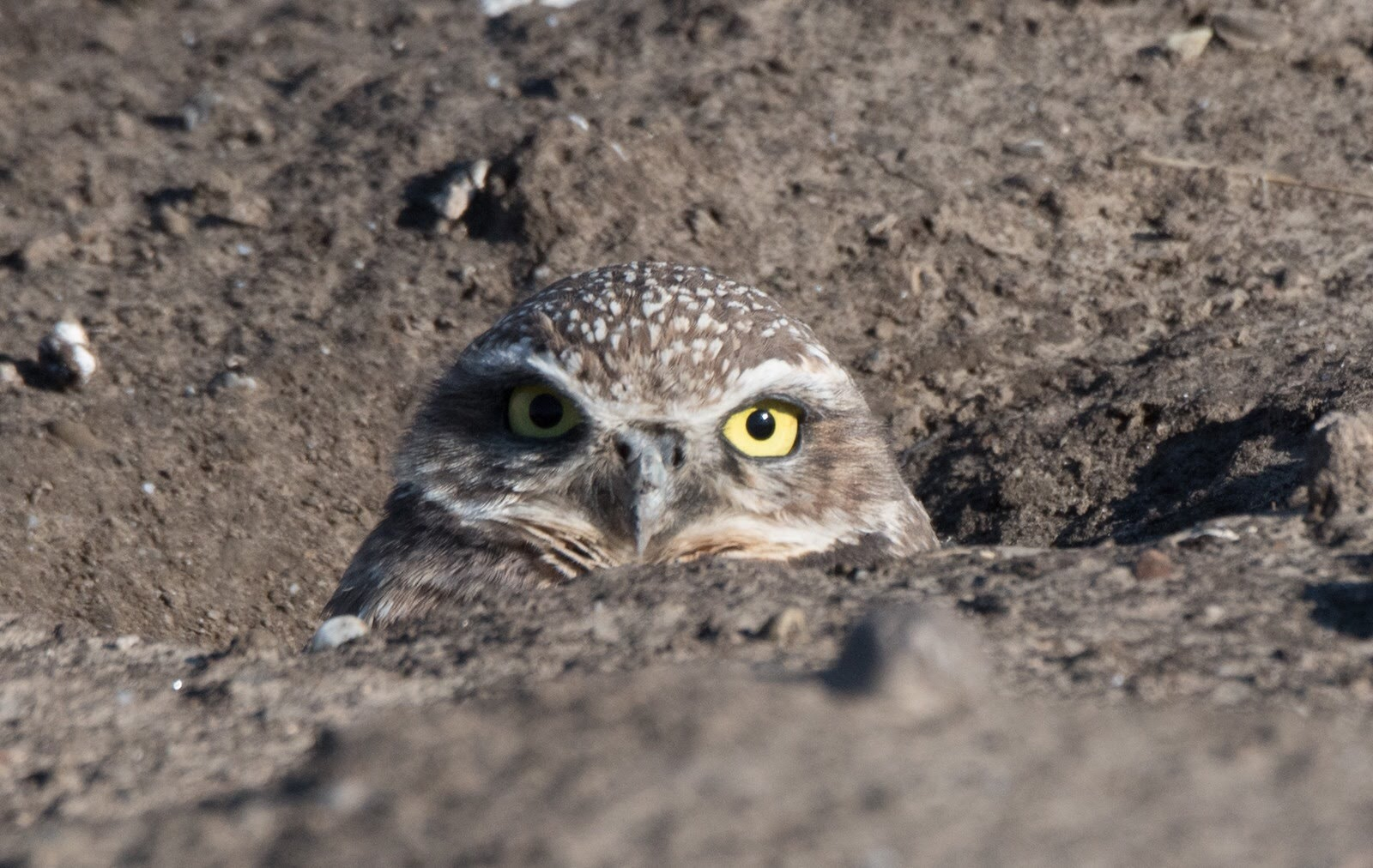 burrowing owl - eileen johnson photography.jpg