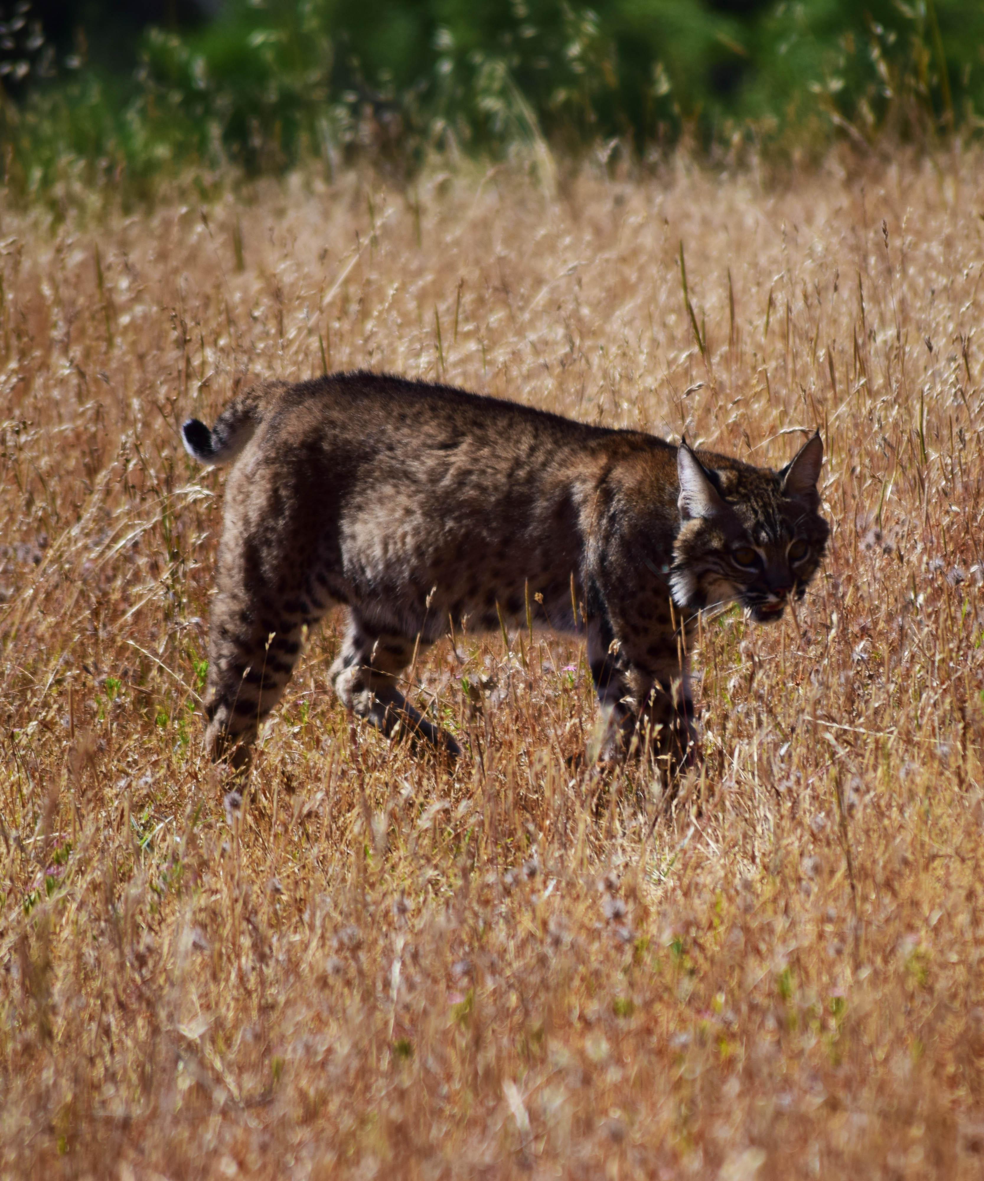 Bobcat Study_Crop.jpg