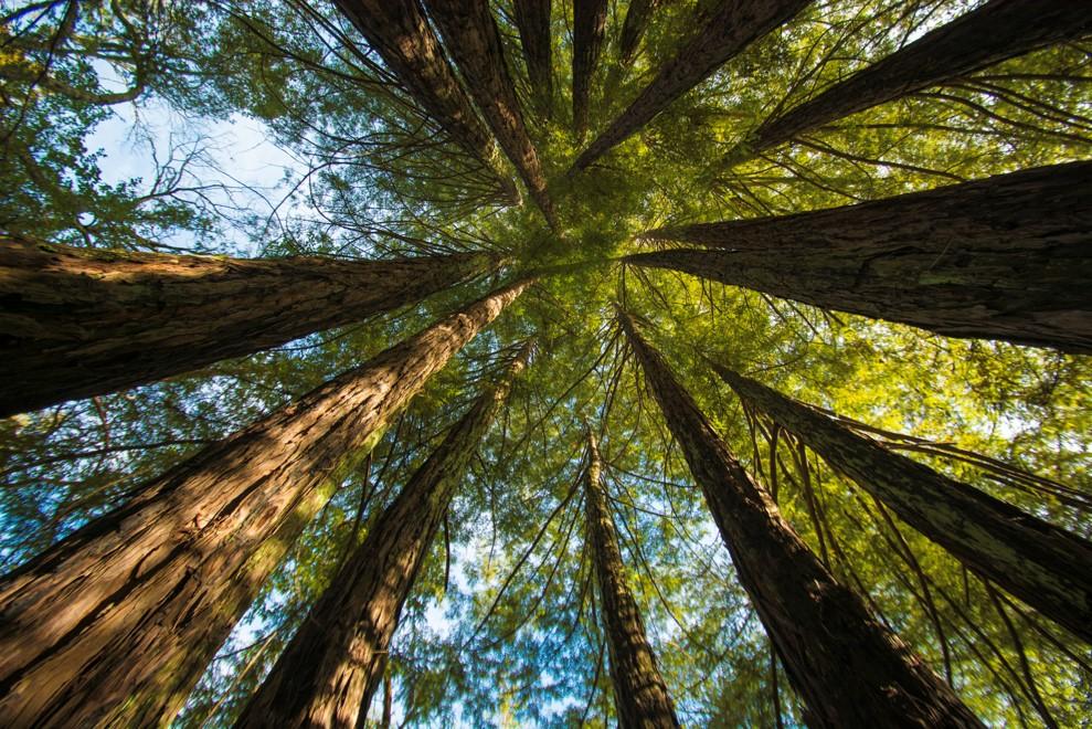 Circle of redwoods