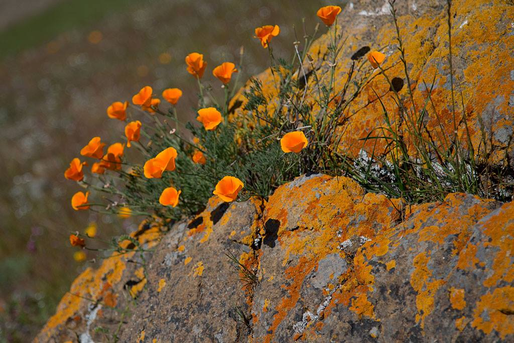 Coyote Ridge - Poppies - MR - 06-22-2015 - 5.jpg