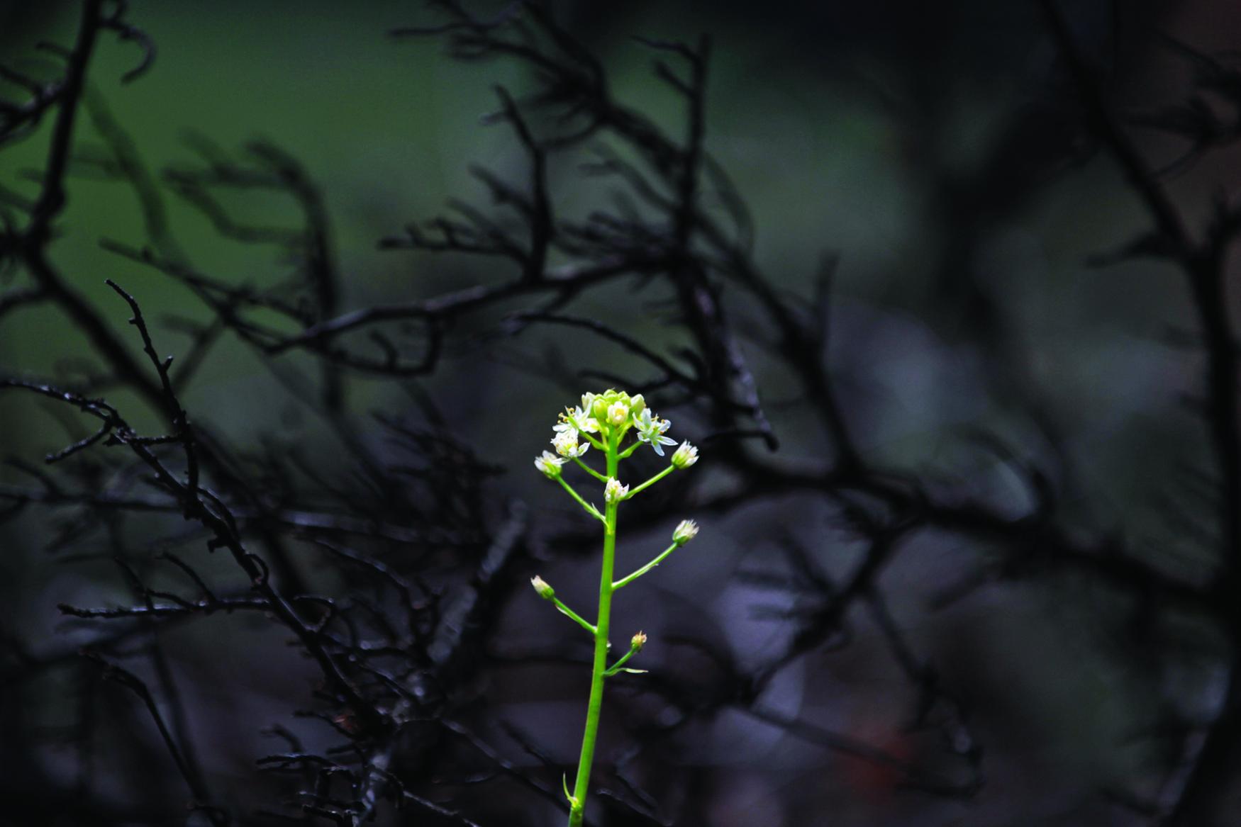 Wildflower in Wake of Fire.jpg