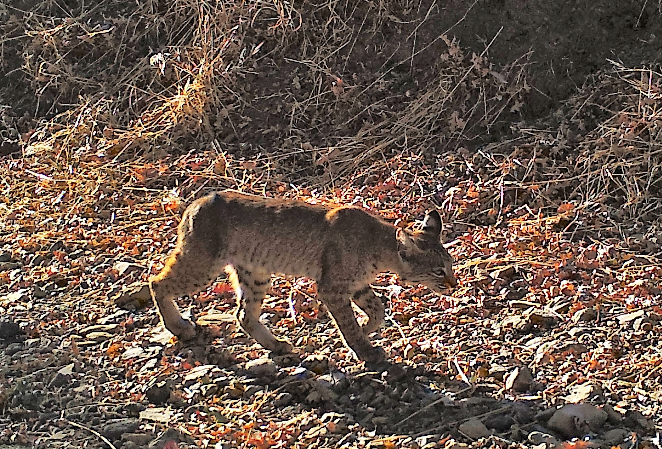 Bobcat at OSA Preserve on 10-8-17-799626-edited.jpg