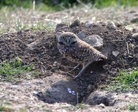 Burrowing Owl-s-048501-edited