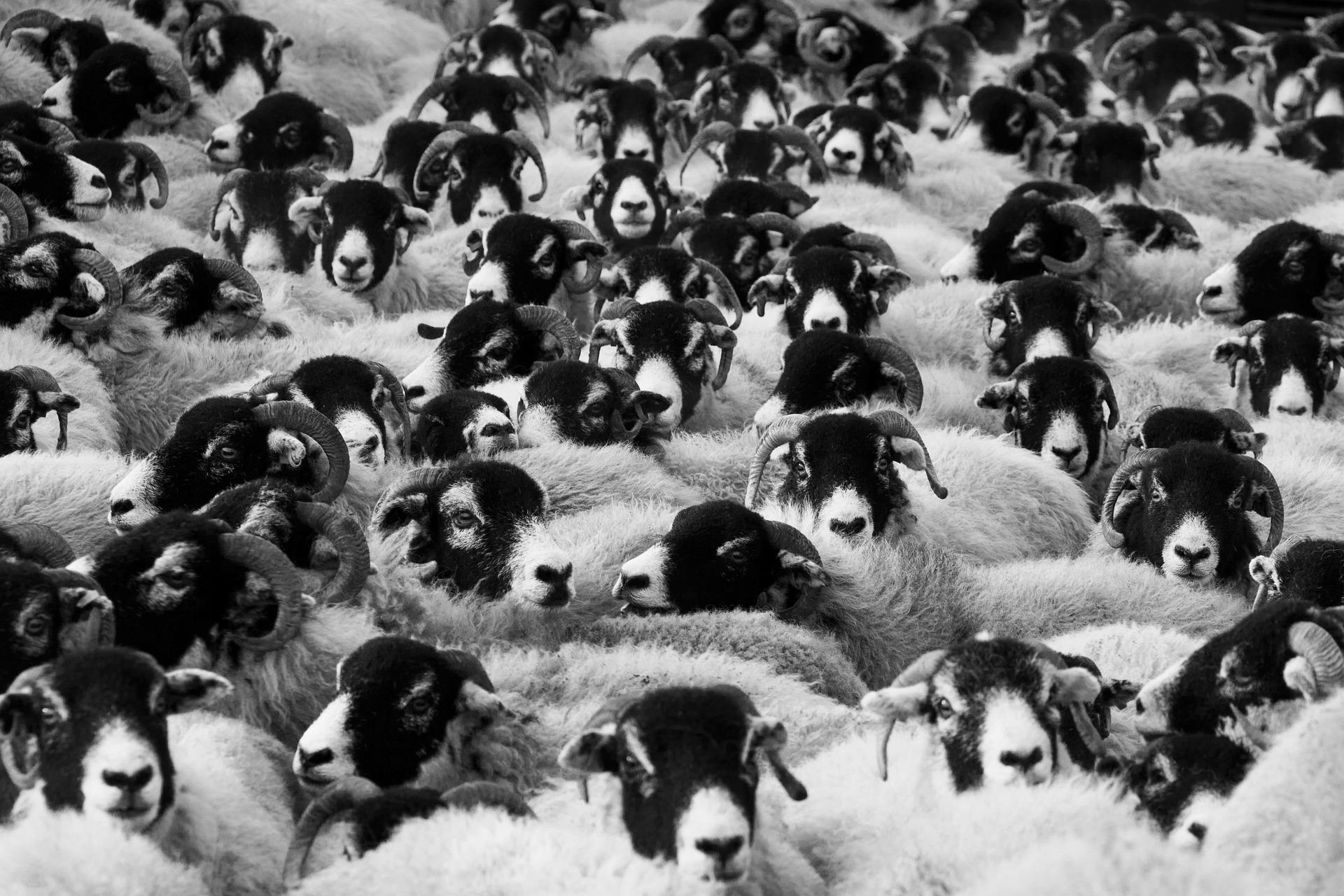 sheep-17482_1920.jpg