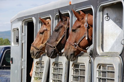 TH-LEGACY-IMAGE-ID-263-horses-looking-out-of-trailer.jpg