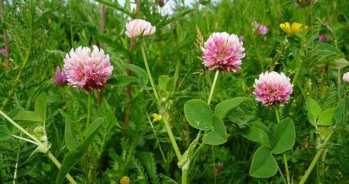 aslike-clover-toxic-plants-500x264.jpg
