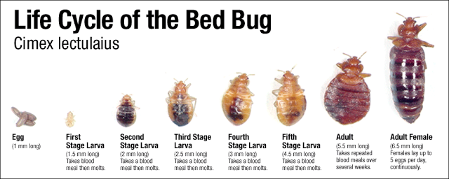 bed bug life cycle and stages of bed bugs to adulthood.png