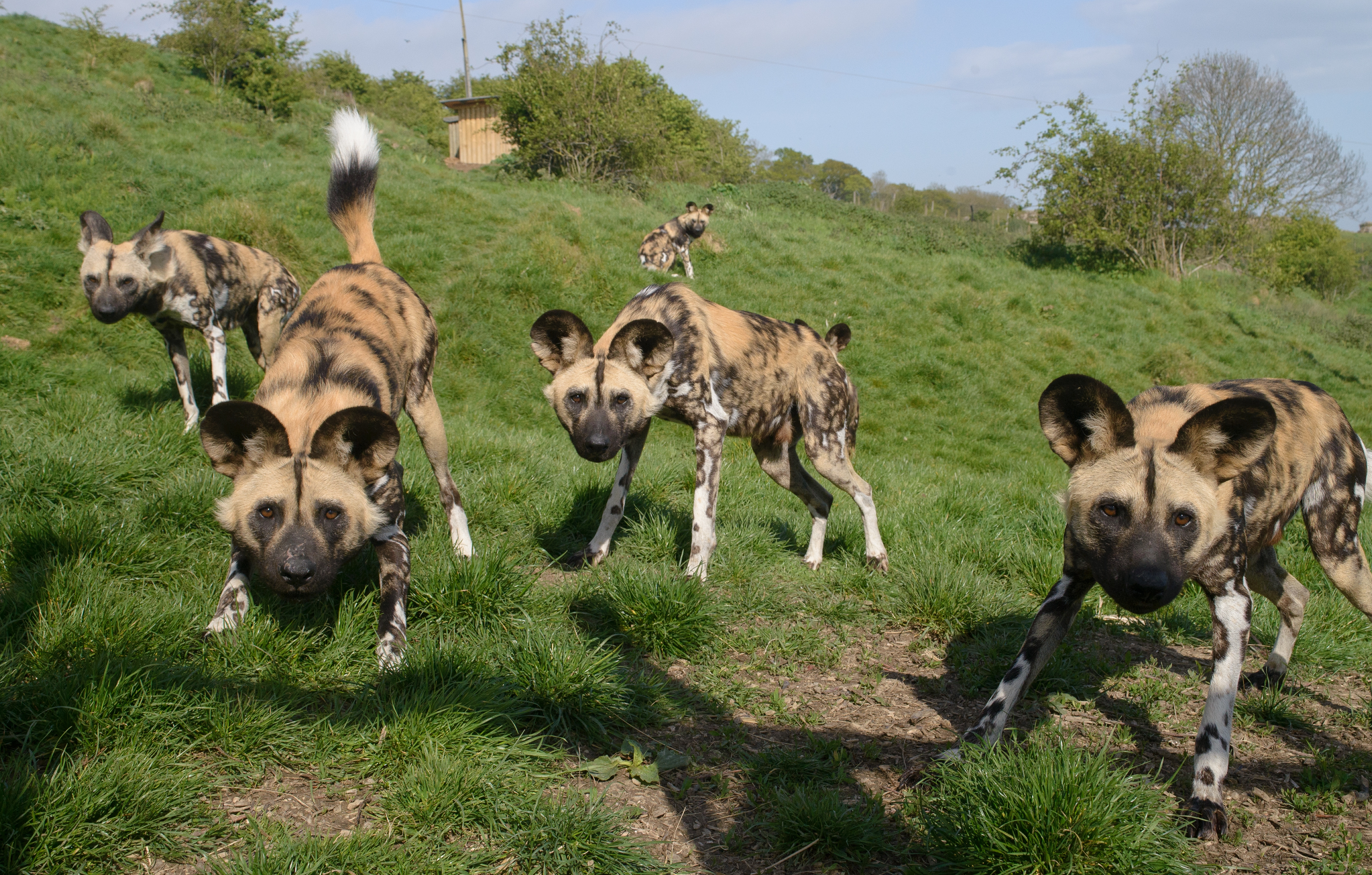 African Painted Dogs To Gabon