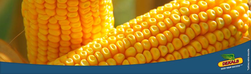 Résultats d'essais maïs grain DEKALB 2018
