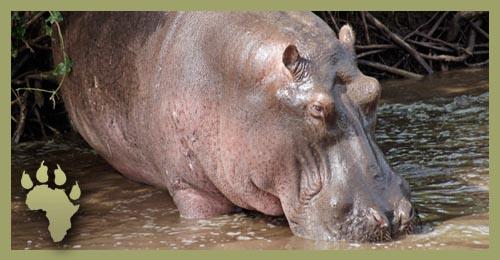 SP_Rhino_enter_water