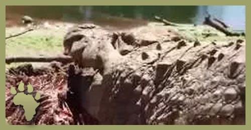 SP_croc_eat_carcass