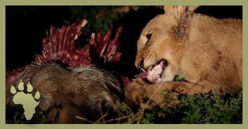 SP_cub_eats_carcass