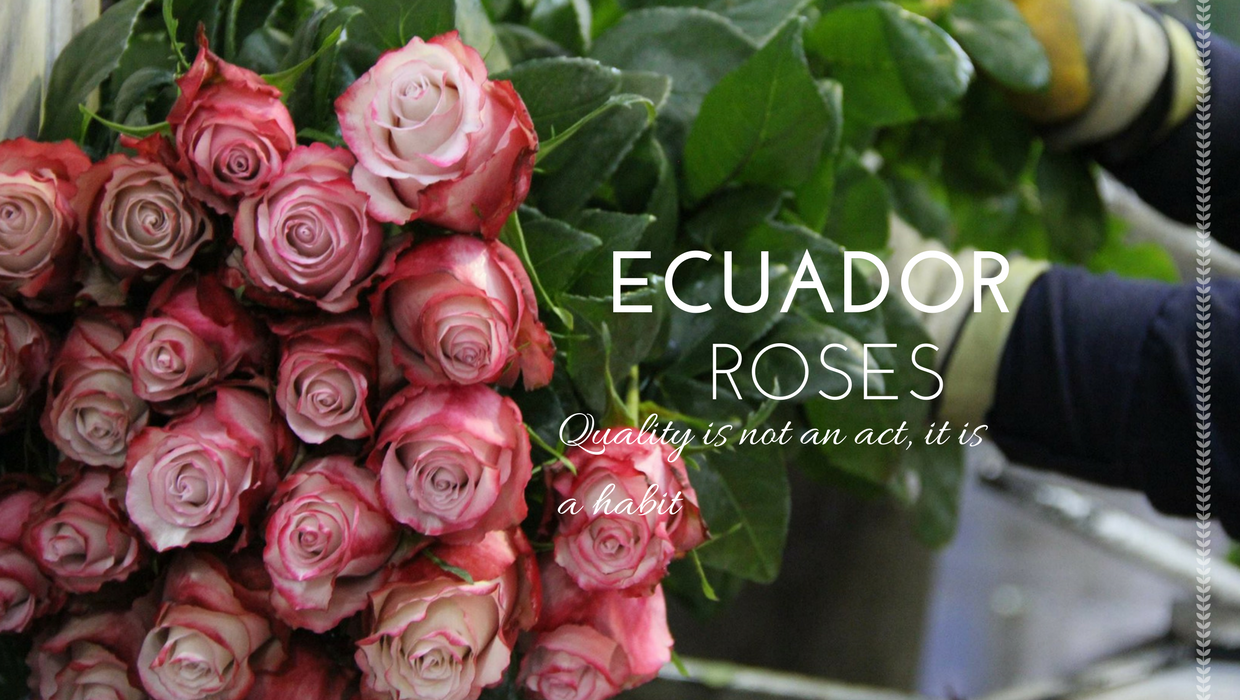 the ecuadorian rose industry Ecuadorian rose industry setting the scene ecuadorian rose industry started around 20 years ago 4th largest producer of roses nation's fifth largest export.
