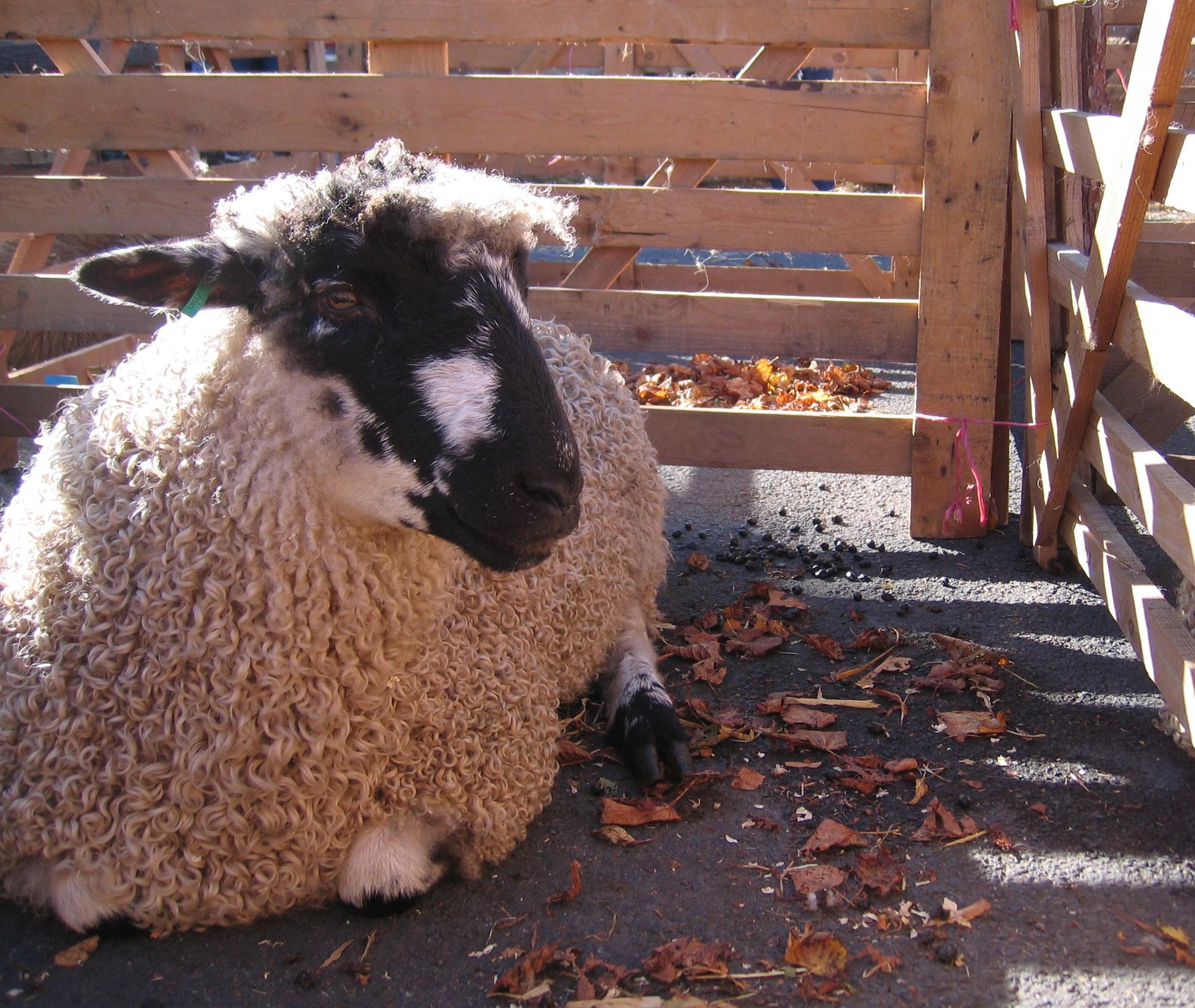 BRITISH SHEEP BREEDS - CROSSBREEDS | baa ram ewe