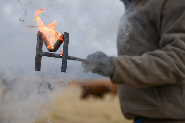 A cowboy holding a hot iron brand that is on fire before branding a calf, while calves are in the background