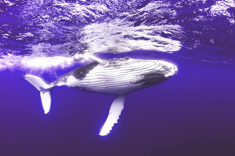 Whales promote the growth of CO2-binding phytoplankton in the oceans