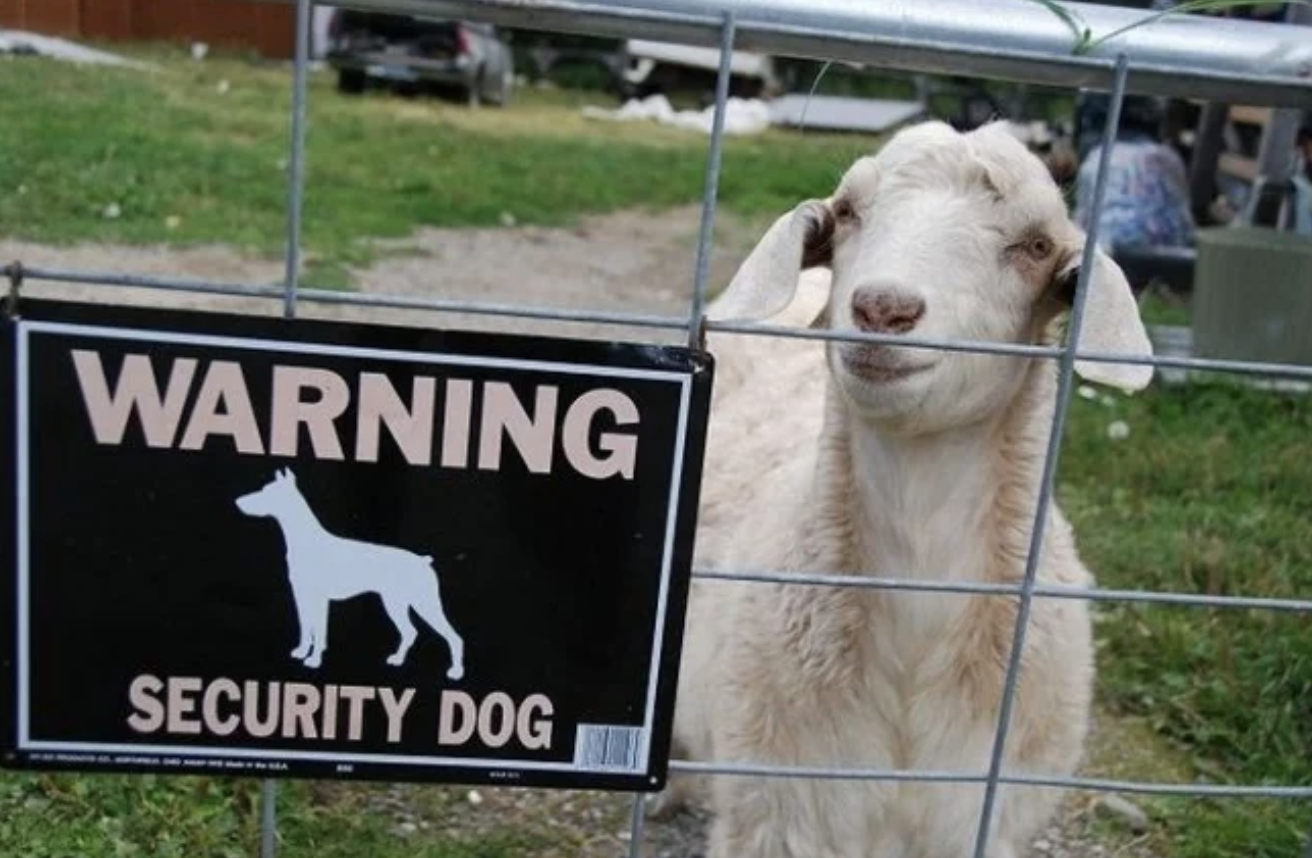 Goat Guard Dog