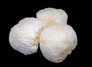 Roaring Brain Benefits with Lion's Mane Mushroom - Hericium erinaceus
