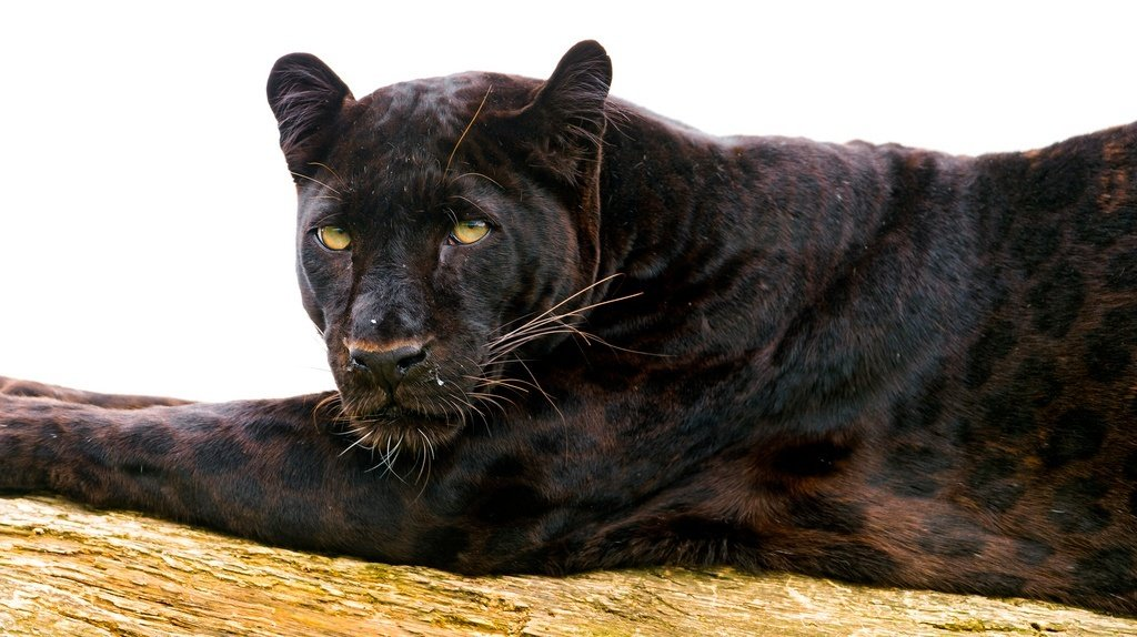 The Majestic African Black Panther