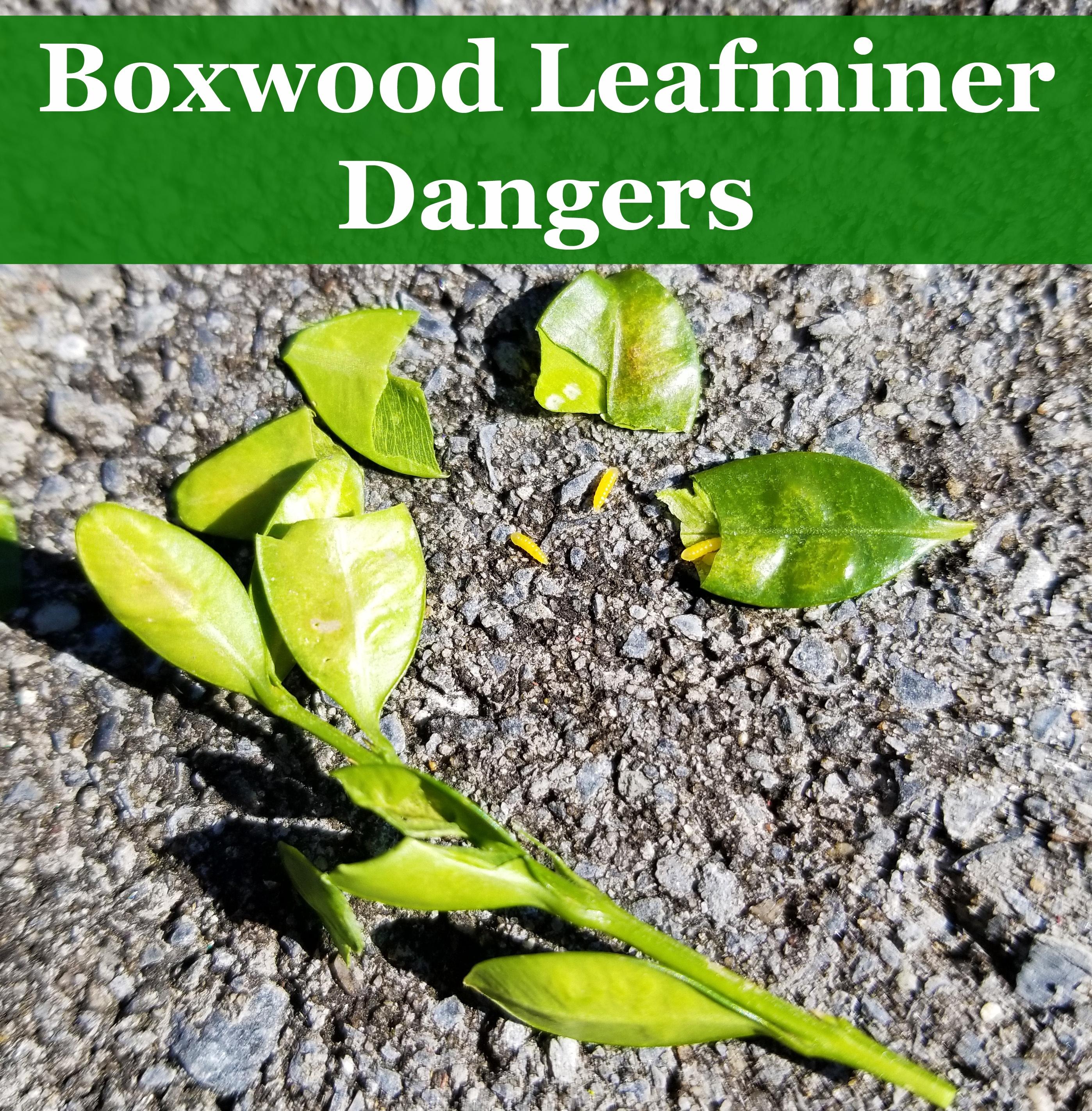 2018-Boxwood-Leaf-Miner-Damage-Header
