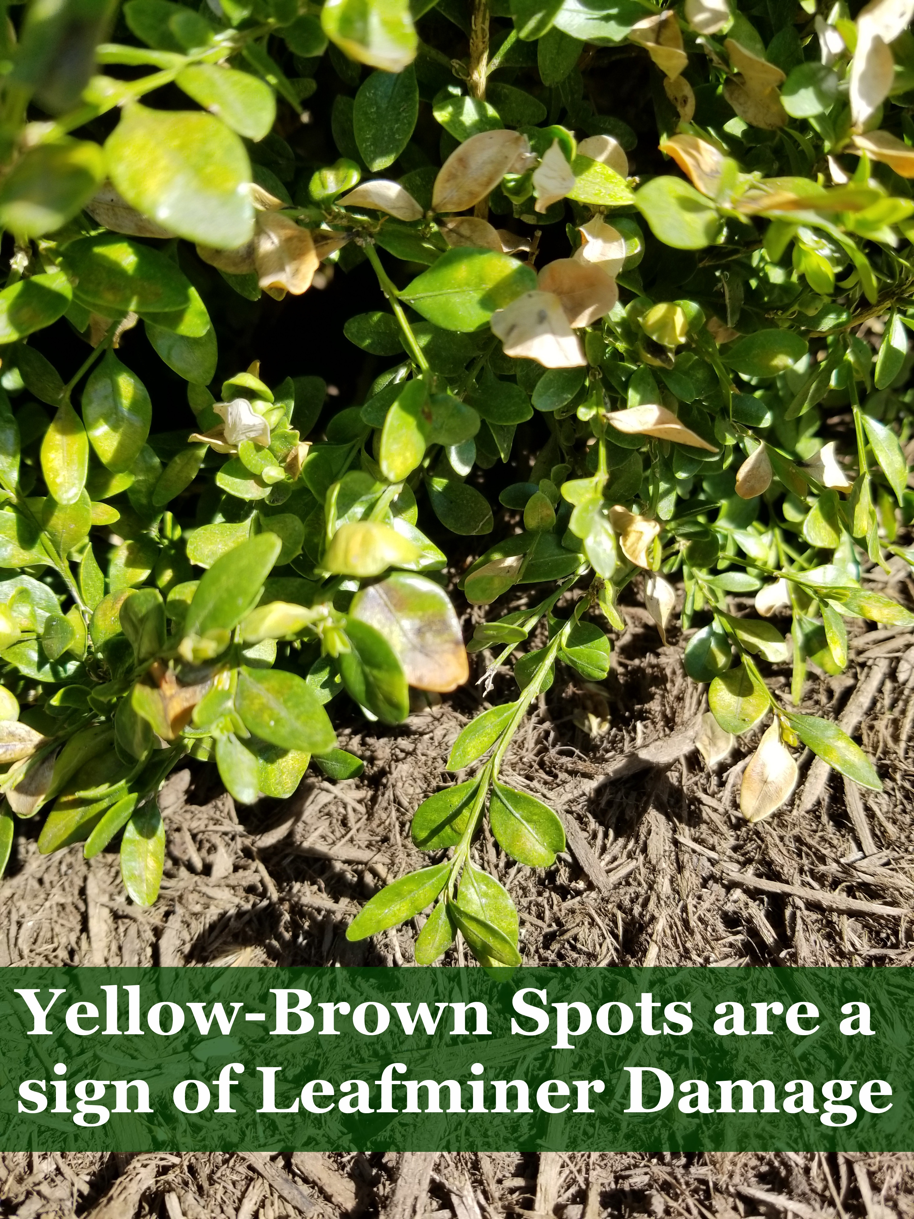 2018-Boxwood-Leaf-Miner-Damage-Yellow-Brown-Leaves