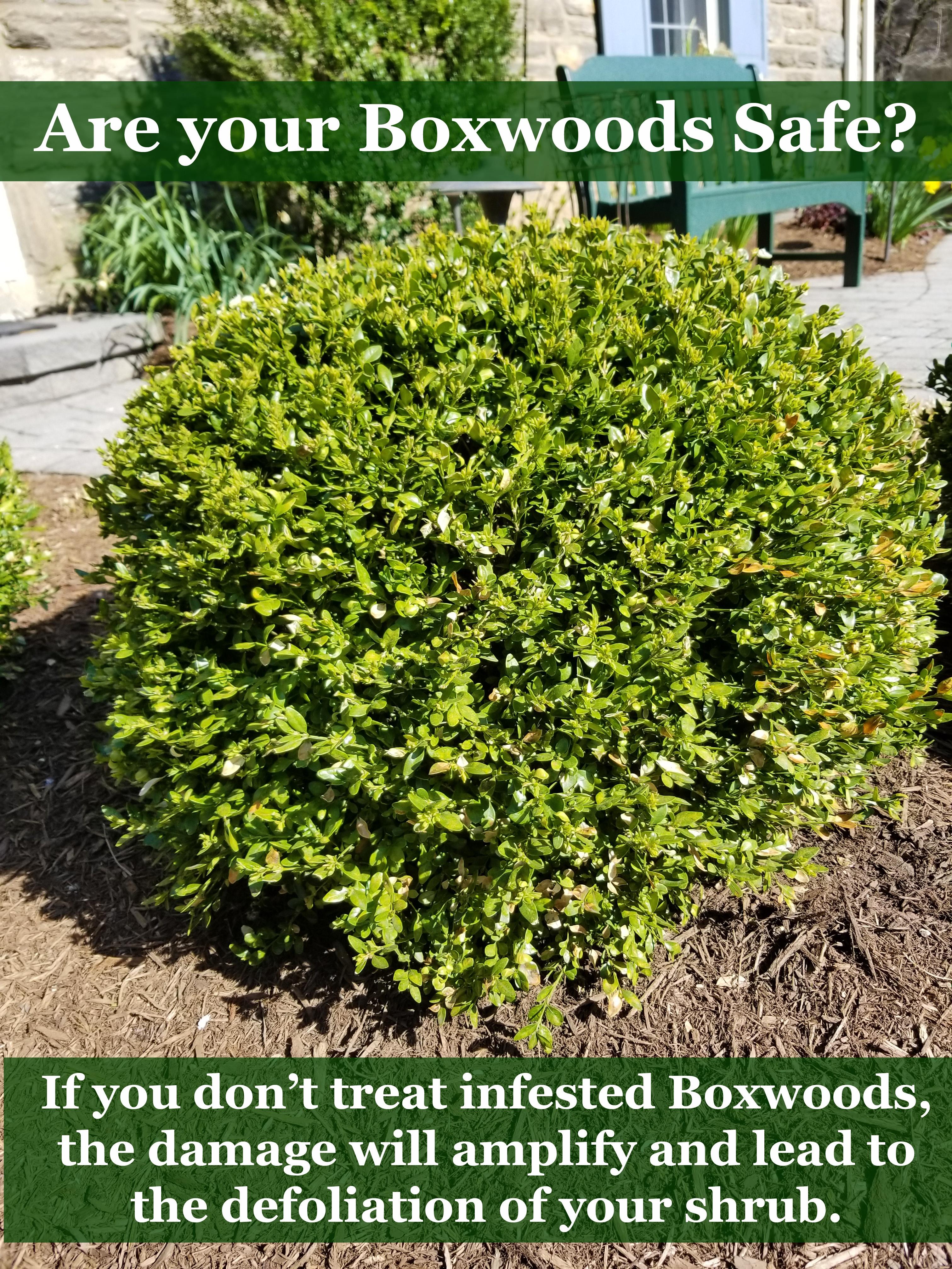 2018-Boxwood-Leaf-Miner-Damage-full-shrub-defoliation