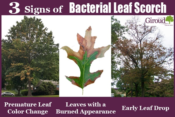 2018-3-Signs-of-Bacterial-Leaf-Scorch-on-Your-Oak-Tree