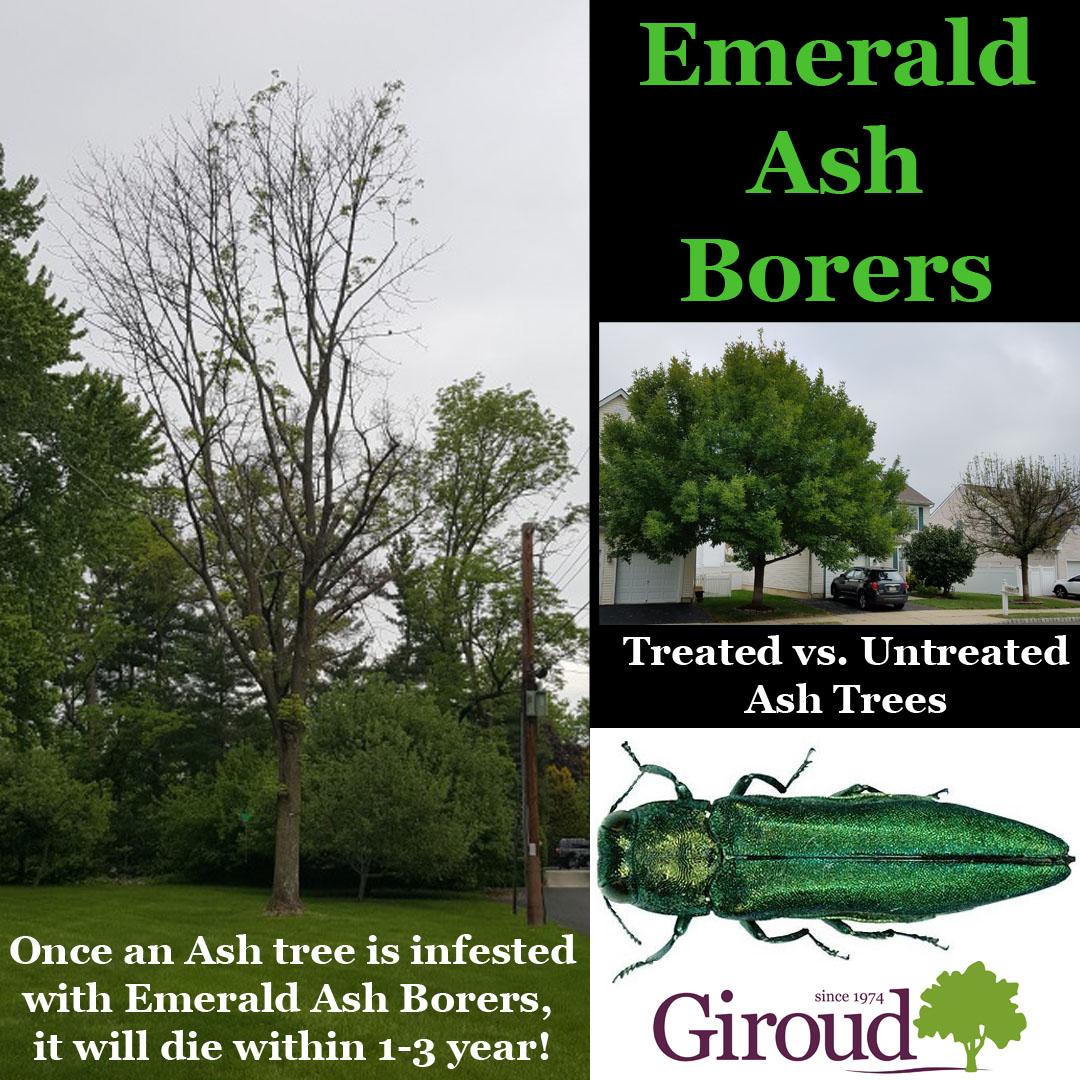 Emerald Ash Borers Kill Ash Trees