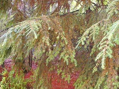 Mites on Hemlock Tree